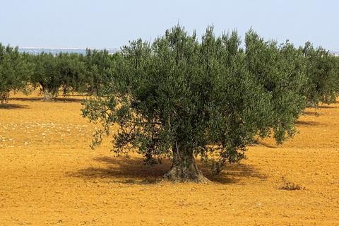 Olivenbäume in Andalusien spanisches Olivenöl 480x320