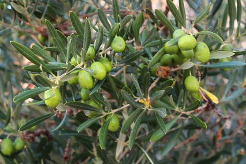 Reife Oliven vor der Ernte spanisches Olivenöl 480x320